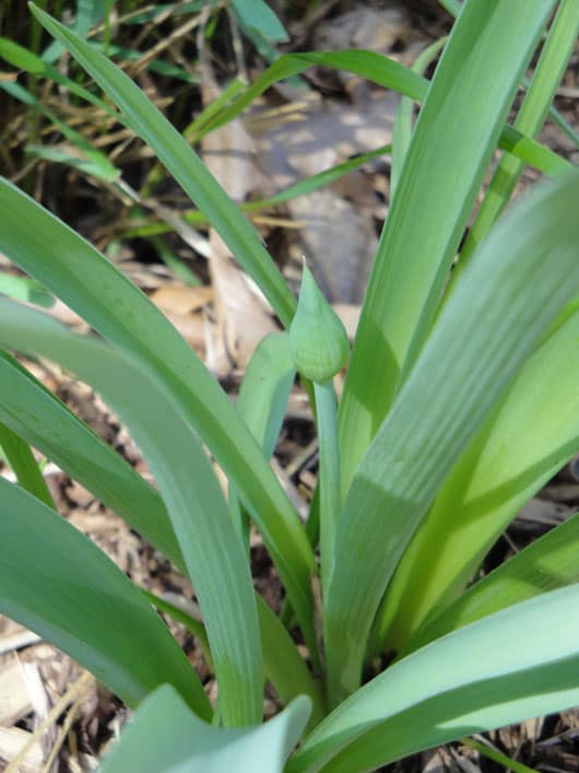 The Early Growth of an Allium Bud