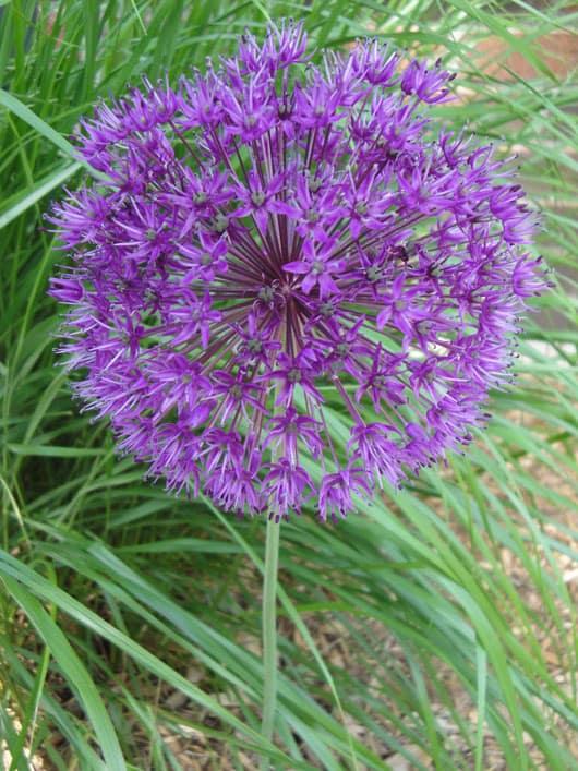 An Allium Flower Bloomed