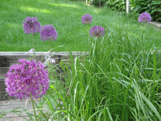 a bunch of alliums in bloom