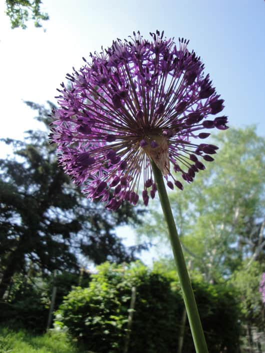 Low Angle Shot of a Blossomed Allium