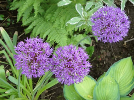 Three Purple Alliums in My Garden