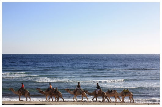 camels on the shore of the red sea