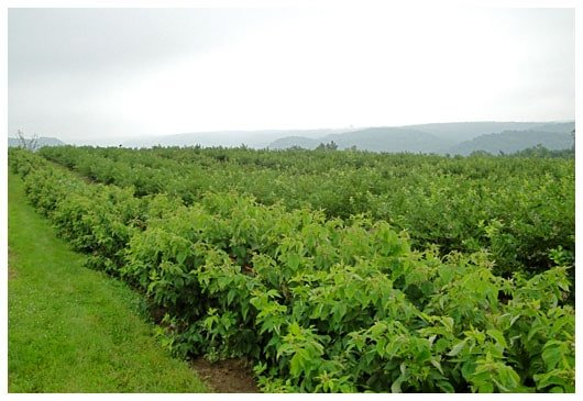 rows of blueberry bushes