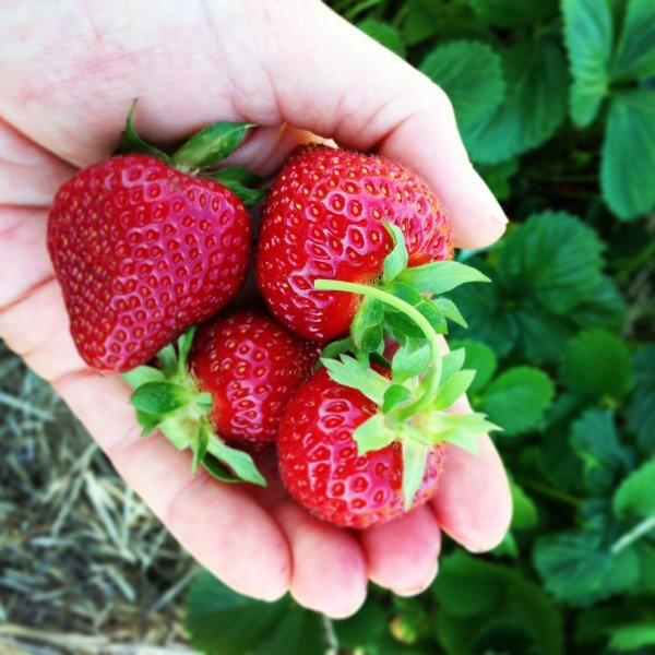 fresh picked strawberries - www.afarmgirlsdabbles.com