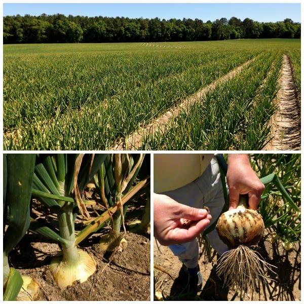 a field of vidalia onions