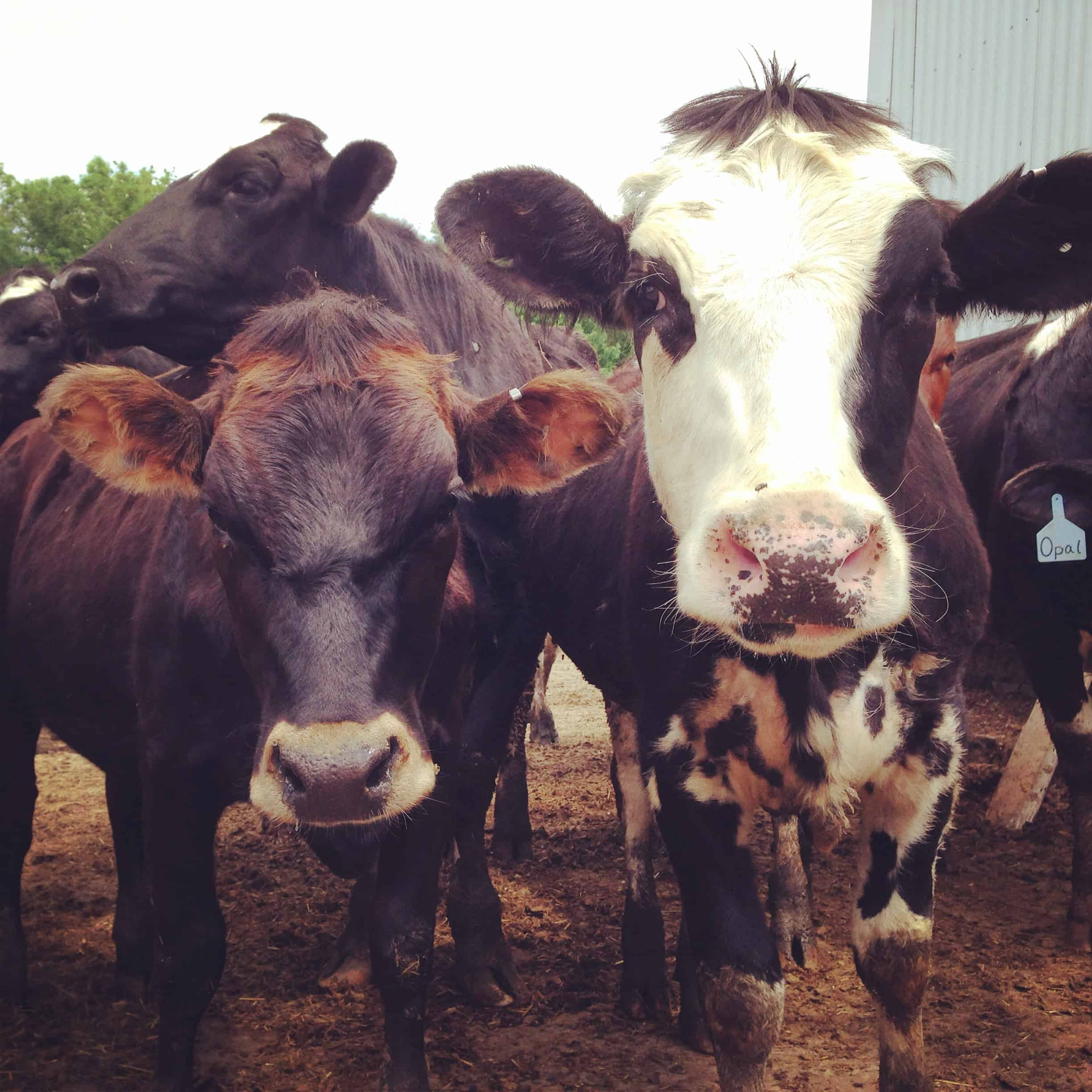 Simple Goodness on the Farm with Land O'Lakes - afarmgirlsdabbles.com #kitchenconvo #dairylife
