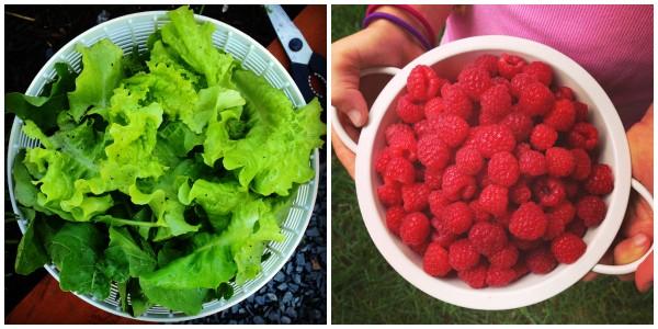 fresh lettuce and raspberries from a garden