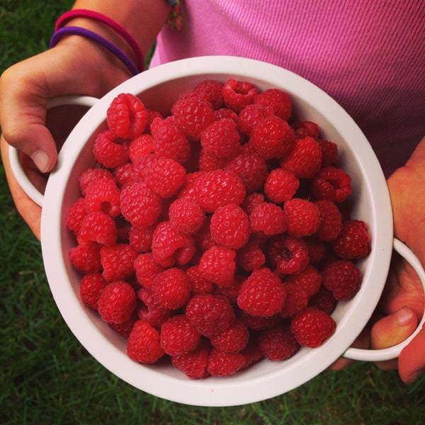 a colander of fresh raspberries from the garden