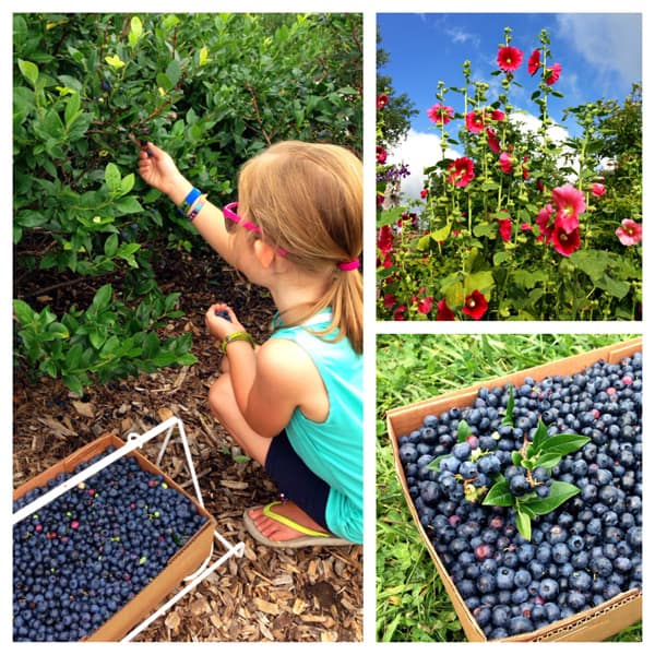 a collage of blueberry picking photos