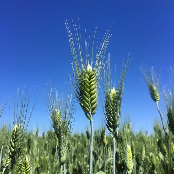 White Lily and Shepherd's Grain - Spokane, WA - afarmgirlsdabbles.com
