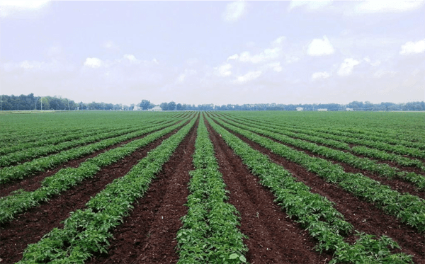 Red Gold tomato field