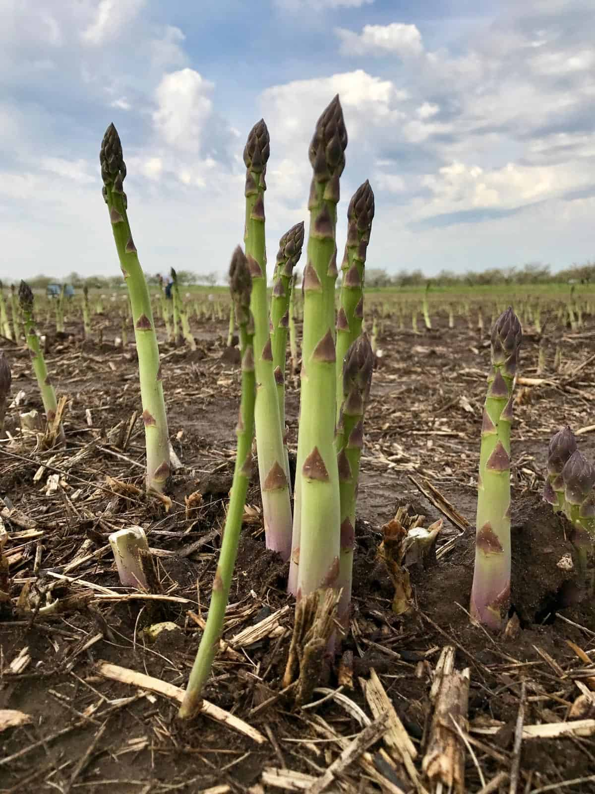 Spring asparagus harvest with Michigan Asparagus - from afarmgirlsdabbles.com