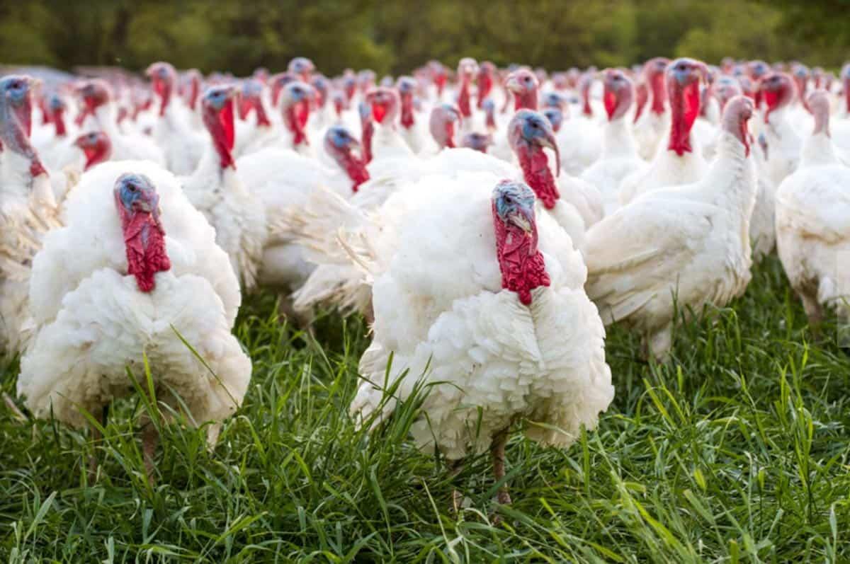 Ferndale Market turkeys