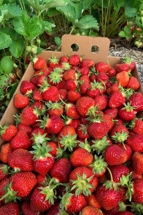 fresh strawberries in the patch